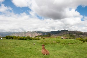 cusco-alpaca