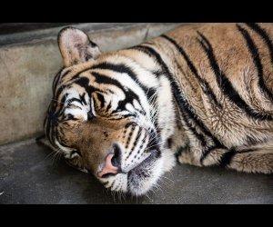 A Tiger In Its Sleep