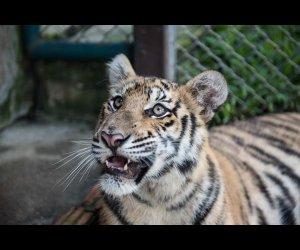 A Tiger Looking At Visitors