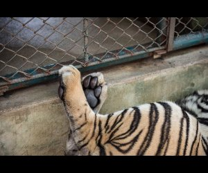 A Tiger Playing in Its Cage