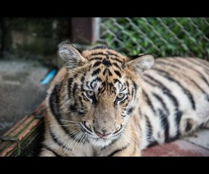 A Tiger Resting in Its Cage