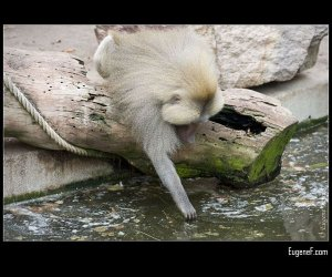 Baboon Catching