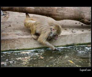 Baboon Fishing