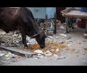 Black Cow on Road
