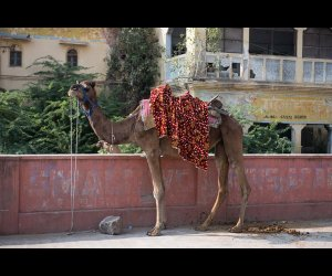 Camel Infront of Old Building