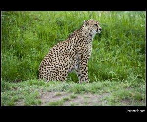 Cheetah Hiding