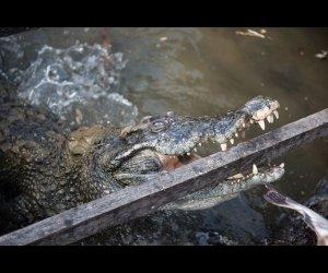 Closeup of Crocodile