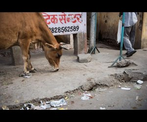Cow on the Street