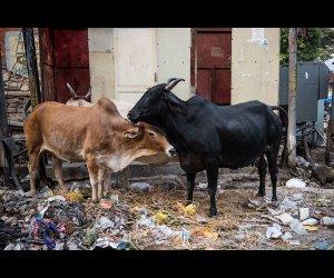 Cows Feeding on Road