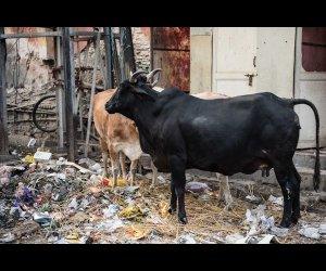 Cows on Street
