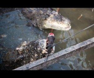 Crocodile Feeding on Fish