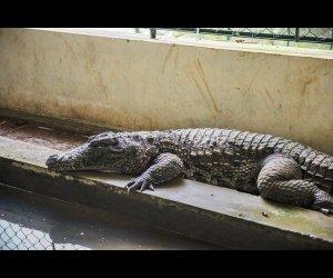 Crocodile Resting in Sanctuary