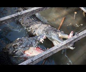 Crocodiles Busy Eating