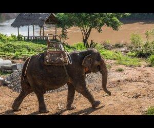 Elephant On Nam Khan River Banks