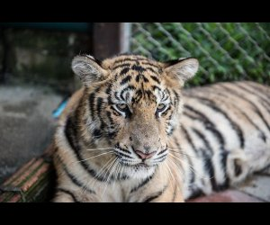 Face View Of A Tiger