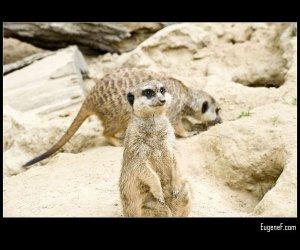 German Meerkats