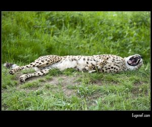 Growling Cheeta