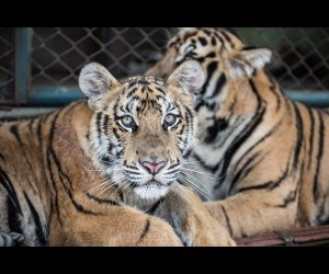 Image of Tigers in Chiang Mai