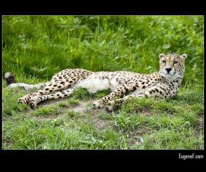 Laying Cheeta