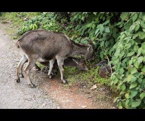 Nilgiri Ibex Eating Leaves