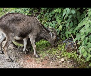Nilgiri Ibex and Calf