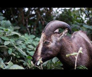 Nilgiri Ibex in Eravikulam National Park