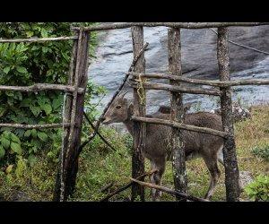 Nilgiri Ibex in Kochi