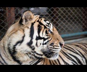 On A Trip To Tiger Kingdom
