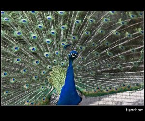 Peacock Posing