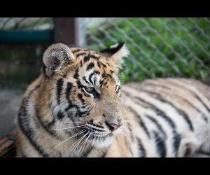 Royal Bengal Tiger in Tiger Kingdom
