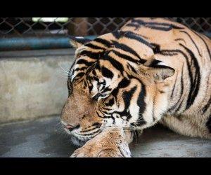 Seeing Tiger in Tiger Kingdom