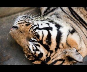Tiger In Deep Sleep