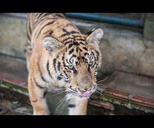 Tiger Kingdom Pictures