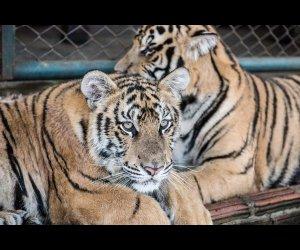 Tiger Kingdom Safari