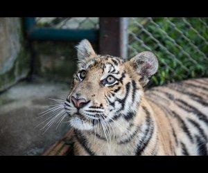 Tiger Kingdom in Chiang Mai (1)