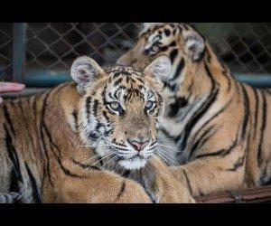 Tiger Kingdom in Chiang Mai