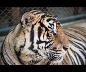Tiger Kingdom in Thailand