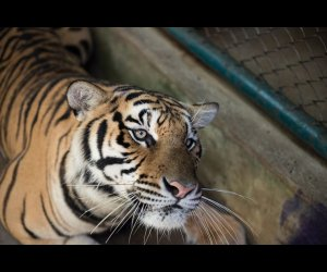 Tiger Sitting in Cage