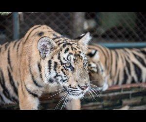 Tiger Walking in Tiger Kingdom
