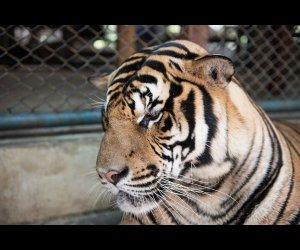 Watching Tigers in Tiger Kingdom