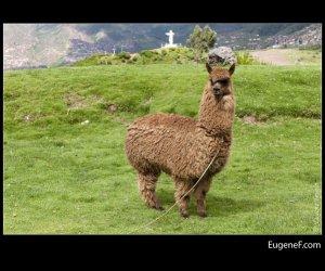 alpaca 03