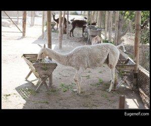 hungry llama