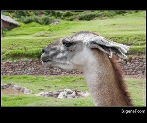 llama close up 2