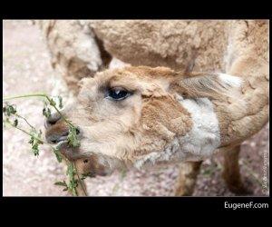 llama eating grass