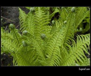 Green Fern