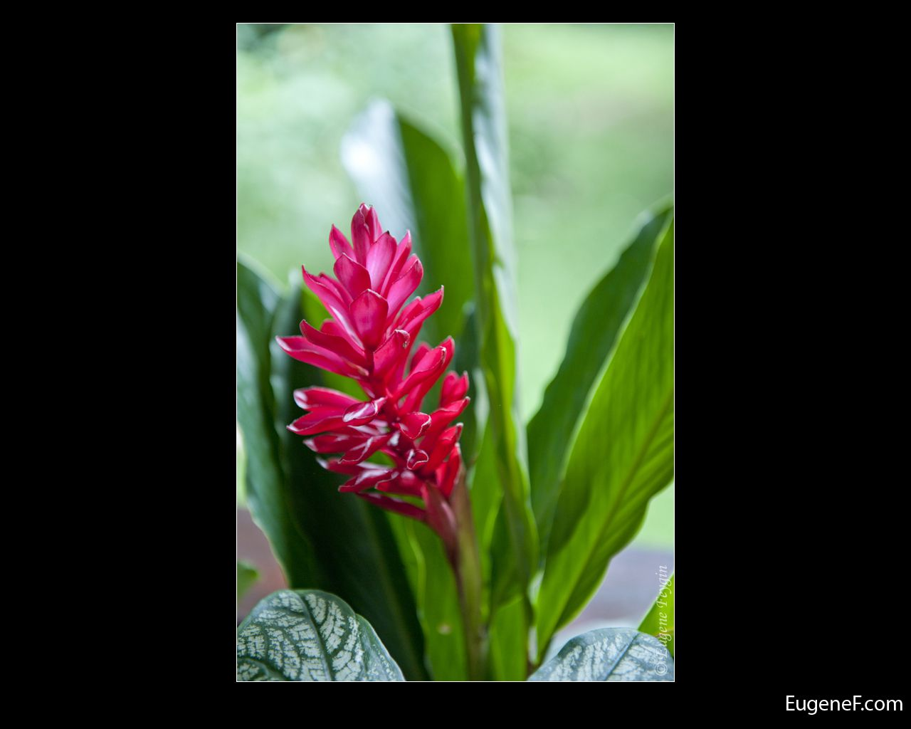 peruvian flower