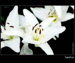 White Alstroemeria