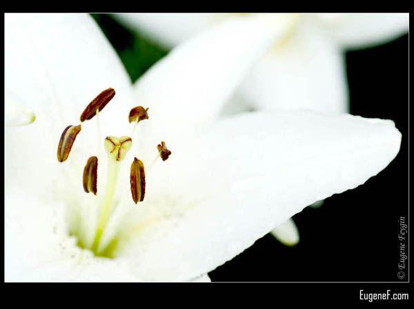 White Alstromeria Flower