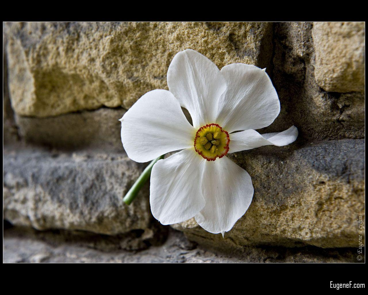 White Moonflower