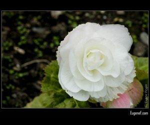 White Single European Rose